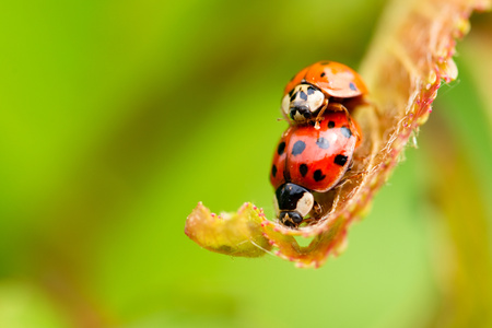 lovemaking: Horizontal photo with pair of copulating ladybugs. Two ladybugs on fresh spring leaf. Two beetles with red color and black dots. Two bugs on light green background. Macro photo.
