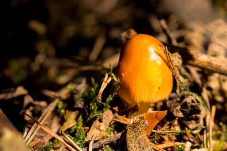 Horizontal photo of young orange mushroom which grows in autumn woods among old dry needles and moss. Nice evening light is shining on surface of mushroom.