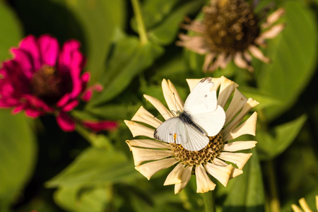 Horizontal photo of cabbage white butterfly. Insect has damaged wings with few black spots. Fly sits on dry white bloom. Several pink flowers with green leaves are in background. Stock Photo