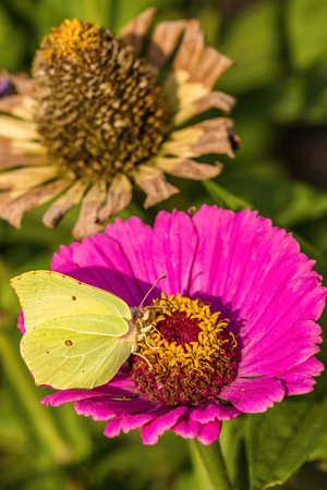 pistils: Vertical photo of yellow-green butterfly with few spots on wings. Body of insect is hairy. Fly sits on pink flower with nice yellow pistils in the center. Second dry bloom is next to first one.
