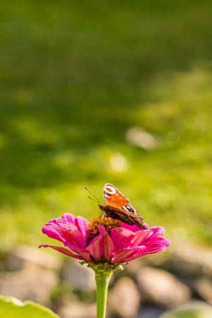 splayed: Vertical photo of color butterfly who sits on pink zinnia bloom in the garden. Background is green with few unfocused stones. Insect has splayed wings.