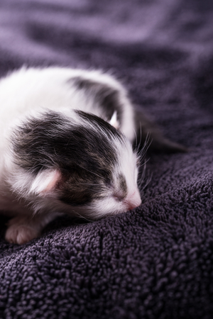 Vertical photo of white black cat. Freshly born kitten one day old. Tomcat rests and sleeps on dark brown blanket with nice soft surface. Cat is still blind with small ears.
