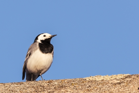 Horizontal photo of single wagtail bird which sits on the worn old roof. Bird with black and white color is kept during sunny day with clear blue sky. Stock Photo