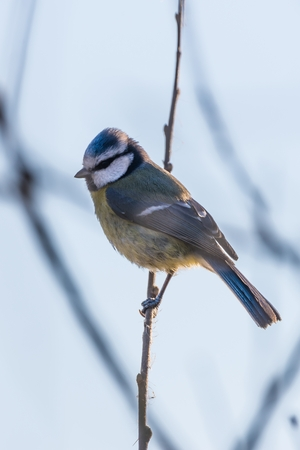 Vertical photo if small european color bird Blue tit. Animal sits on a thin branch and has nice blue, white or yellow color of feathers. The clear sky and other branches are in background.