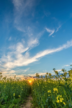 Vertical springtime landscape photo. Lower view from rapeseed field with yellow blooms and path in center. Sunset with orange sun beams in background. Nice blue sky with dramatic clouds.