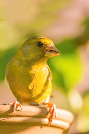 Vertical photo of small songbird. European greenfinch sits on the edge of feeder. Animal has nice eyes, beak which is dirty from sunflower seeds and nice green  yellow feathers. Stock Photo