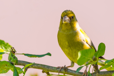 Horizontal photo of single male songbird European Greenfinch with nice yellow  green feathers which is perched on branch of cherry tree with several leaves. Background is on purely orange. Stock Photo
