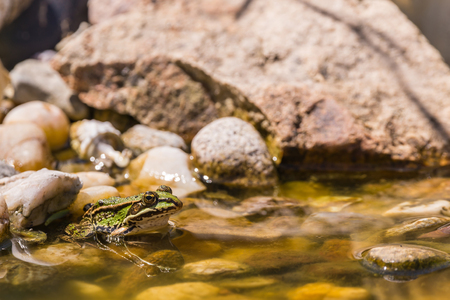 Horizontal photo of small green frog sits in shallow on few stones inside small garden lake  pond. Several big stones are in background and under the surface of water.