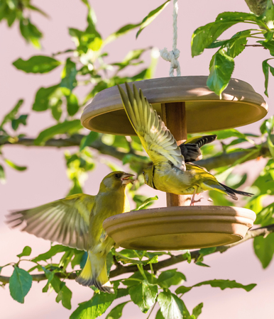 Vertical photo of two male songbirds European Greenfinch with nice yellow  green feathers which are fighting for seeds on brown feeder which is placed on branch of cherry tree. Stock Photo
