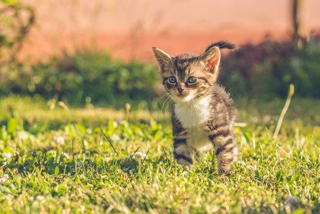 Horizontal photo with few weeks old kitten. Cat has nice tabby fur with with chest. Animal stands on the lawn in the garden with several plants in background.