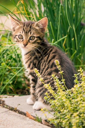 babies: Vertical photo of single small kitten. Cat sits on tile in herbs garden with thyme in front and chive in back. Baby animal has nice tabby fur with white legs and chest. Stock Photo