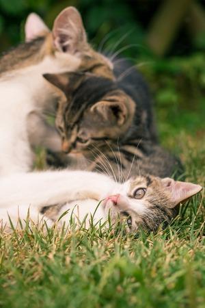 poquito: Foto vertical del gato de la madre que juega con el gatito dos. El que tiene piel blanca y tabby está bajo la pata de la madre en la espalda y mira a la cámara. Todos los gatos están en el jardín en la hierba. Foto de archivo