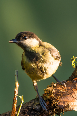 Vertical photo of single great tit. The bird is perched on wooden branch. The branch is with lichen and moss. The bird has black, white and yellow feathers. Green color is in background.