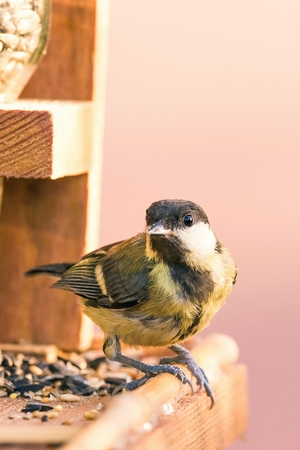 Vertical photo of single male great tit bird. The songbird is perched on wooden feeder with few kind of seeds. Bird with black, white and yellow feathers is on pink background.