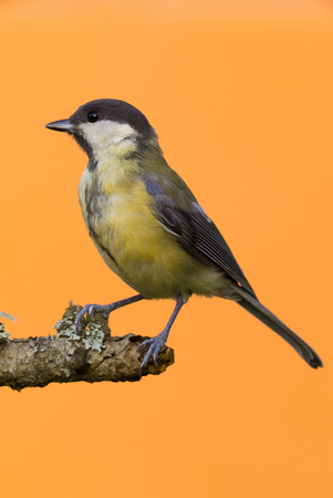 Vertical photo of female great tit bird which is perched on dry wooden branch with grey  green lichen. Animal has black, white, yellow and green feathers and is isolated on orange background.