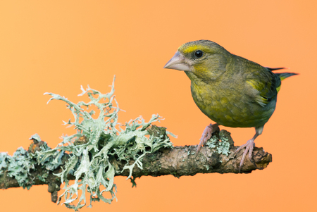 Horizontal photo of male Greenfinch songbird. Bird is perched on wooden branch with big grey  green lichen. Bird has green yellow color and strong beak. Bird is isolated on orange background.