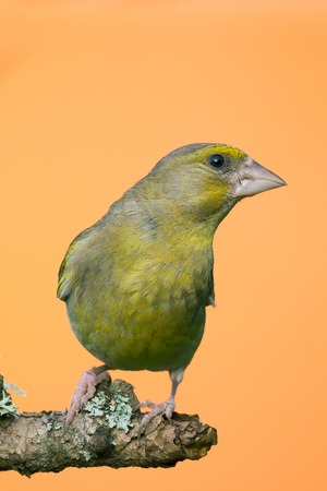 Vertical photo of male Greenfinch songbird. Bird is perched on wooden branch with grey  green lichen. Bird has green yellow color and strong beak. Bird is isolated on orange background.