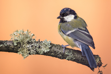 Horizontal photo of young great tit bird. Songbird is perched  and tuned back on branch with big lichen. Animal has black, blue and yellow feathers. Wildlife photo of animal on orange background.