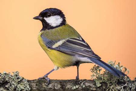Horizontal photo of adult great tit bird. Songbird is perched  and tuned back on branch with big lichen. Animal has black, blue, green and yellow feathers. Wildlife photo with orange background. Stock Photo
