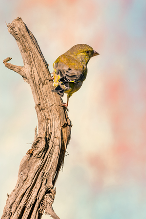 Vertical photo of greenfinch songbird. Animal is perched on dry worn wooden twig. Background is blurred with various colors. Portrait of avian. Stock Photo