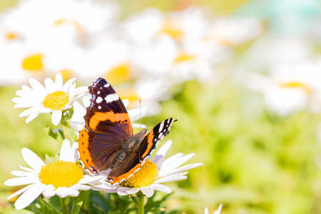 Horizontal photo of admiral butterfly with nice wings with dark black, orange and white color and hairy body. Insect is perched on white daisy bloom with yellow center which are too around.