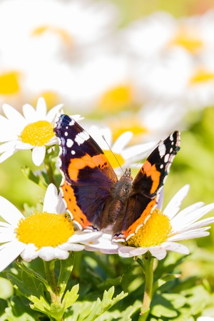 Vertical photo of admiral butterfly with nice wings with dark black, orange and white color and hairy body. Insect is perched on white daisy bloom with yellow center which are too around.