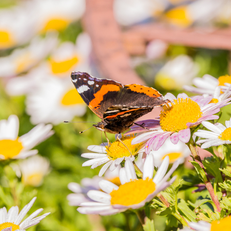 Square photo with admiral butterfly. The insect is perched on daisy bloom with white leaves and brigh yellow center. Other plants around. The color on wings are black, orange and white.