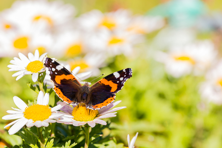 Horizontal photo with admiral butterfly. The insect is perched on daisy bloom with white leaves and brigh yellow center. Other plants around. The color on wings are black, orange and white.