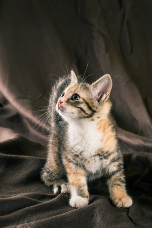 Vertical photo of small kitten with tabby fur. Baby cat has white chest and paws with few red spots. Animal stands on the brown crumpled brown blanket which is too in background. Stock Photo