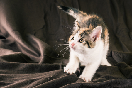 Horizontal photo of small kitten with white fur. Baby cat is tabby on head and back with red spots. Animal is crouched on the brown crumpled brown blanket which is too in background. Stock Photo