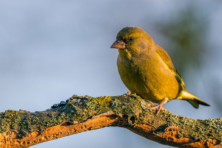 Horizontal photo of nice single greenfinch songbird. Bird is perched on worn twig partially covered by bark, moss and lichen. Background is blurred. Bird has nice green and yellow feathers.