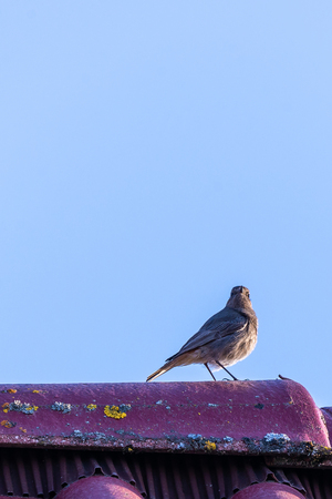 Vertical photo of single male black redstart bird who is perched on top of roof and singing. The feathers are disheveled by the wind. Bird has nice orange tail with grey body and head.