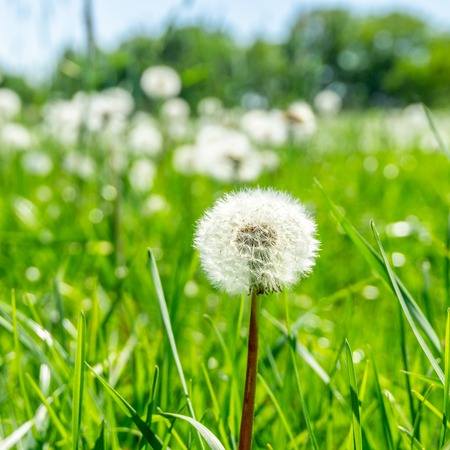 Square photo with detail of single dandelion plant. The faded bloom is fully covered by seeds with white fluff. Other plants are in background on meadow with green grass. Stock Photo