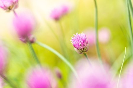 Horizontal photo with small chive bloom. Bloom has nice pink  purple color and consists of many small colorful leaves. Other blooms are around on green background. Stock Photo