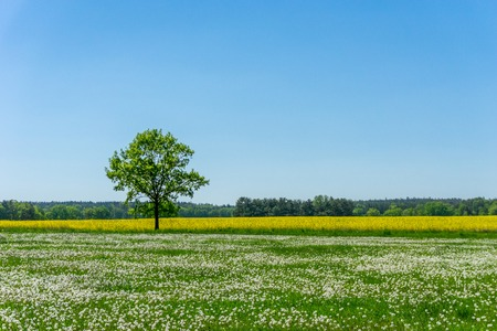 Horizontal photo of single tree which grows between meadow with grass and many dandelion plants with white faded blooms and yellow field with rapeseed flowers. Sky is clear blue. Stock Photo