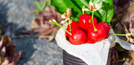 Horizontal photo with old vintage tin full of red fresh cherries. The can is placed on stone with several plants and flowers around. Fruit is in tin with few leaves from cherry tree.