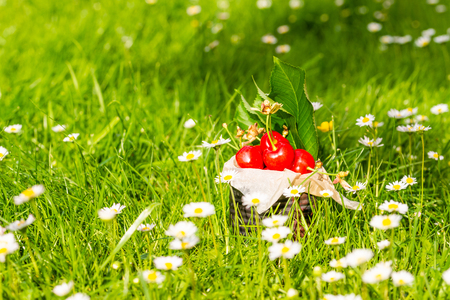 Horizontal photo with old vintage tin full of red fresh cherries. The can is placed in higher green grass with many white daisies around. Fruit is in tin with few leaves from cherry tree.