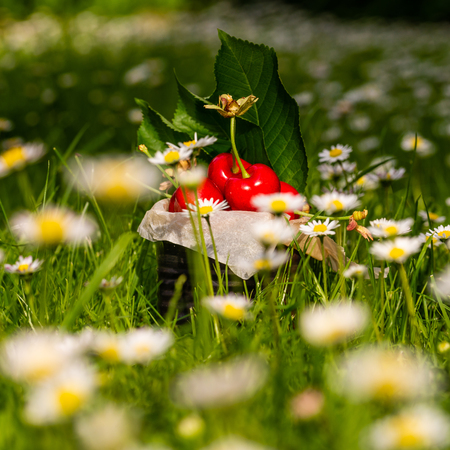 Square photo with old vintage tin full of red fresh cherries. The can is placed in higher green grass with many white daisies around. Fruit is in tin with few leaves from cherry tree. Stock Photo