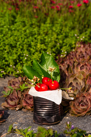 Vertical photo with old vintage tin full of red fresh cherries. The can is placed on stone with several plants and flowers around. Fruit is in tin with few leaves from cherry tree.