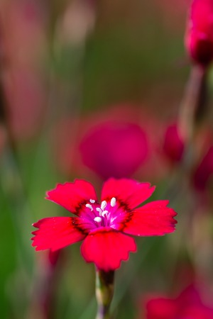 Vertical photo with nice red bloom of small carnation flower. Bloom has nice center with pistils covered by polen. Blooms of other plants are in background with green color.