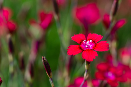 Horizontal photo with nice red bloom of small carnation flower. Bloom has nice center with pistils covered by polen. Blooms of other plants are in background with green color.