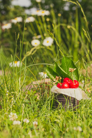Vertical photo with old vintage tin full of red fresh cherries. The can is placed in higher green grass with few white marguerites in background. Fruit is in tin with few leaves from cherry tree. Stock Photo