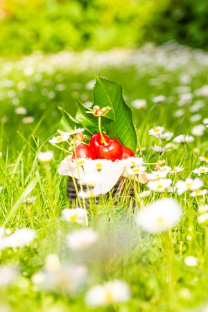 Vertical photo with old vintage tin full of red fresh cherries. The can is placed in higher green grass with many white daisies around. Fruit is in tin with few leaves from cherry tree.