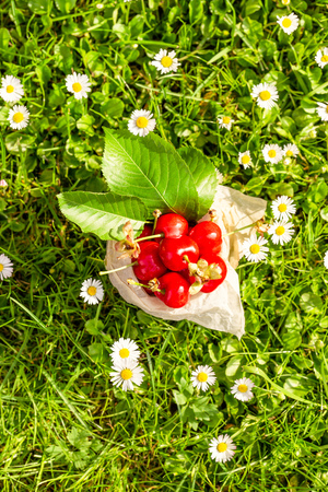 Vertical photo with top view on old vintage tin full of red fresh cherries. The can is placed in higher green grass with many white daisies around. Fruit is in tin with few leaves from cherry tree.