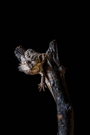 Bearded dragon on piece of dry wood on black background Stock Photo