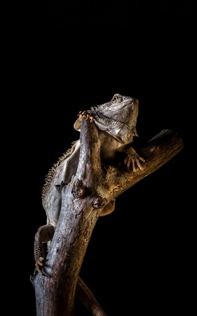 Vertical photo of single bearded dragon - agama. Lizard has nice thorns on head ond on body. Reptile is on piece of old worn wooden branch. Background is black. Stock Photo