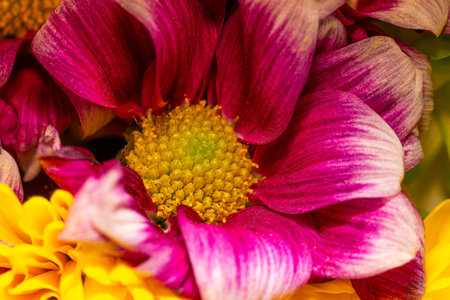 Horizontal close-up photo of flower bloom. Bloom has bright yellow center full of pistils and stigmas. Petal leaves has nice red and purple color. Stock Photo
