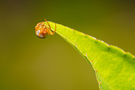 Horizontal photo of cure small spider. Spider has nice orange body and legs. Insect is perched on green leave of small tree with visible eyes.