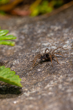 Vertical photo of nice dark brown spider. Insect is perched on dark stone placed in the garden. Spider is waiting to catch some fly. Spider has hairy body and legs. Eyes are visible.