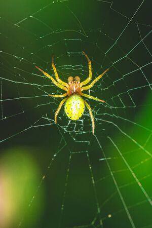 Vertical photo with nice spider. Spider is perched on his web with green leaves in background. Spider has green body with orange head and with few dots. Stock Photo - 129595777